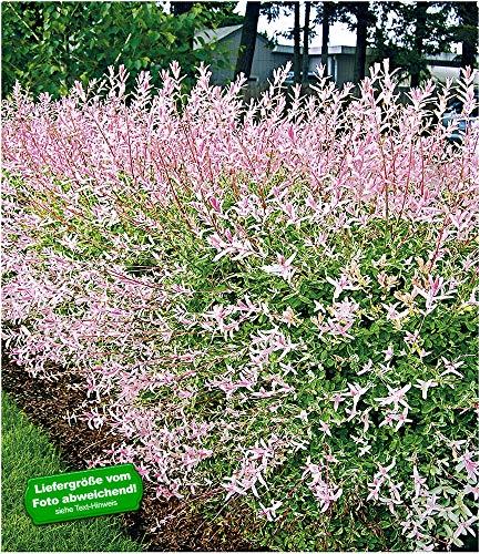 Baldur-Garten -   Salix-Hecke Hakuro