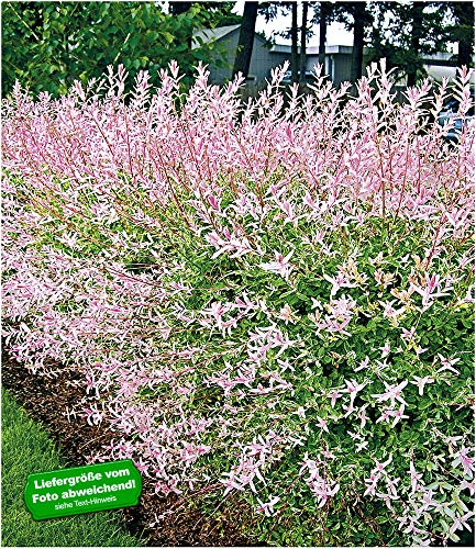 BALDUR-Garten Salix-Hecke Hakuro Nishiki,1 Pflanze Weide, Heckenpflanzen, winterhart