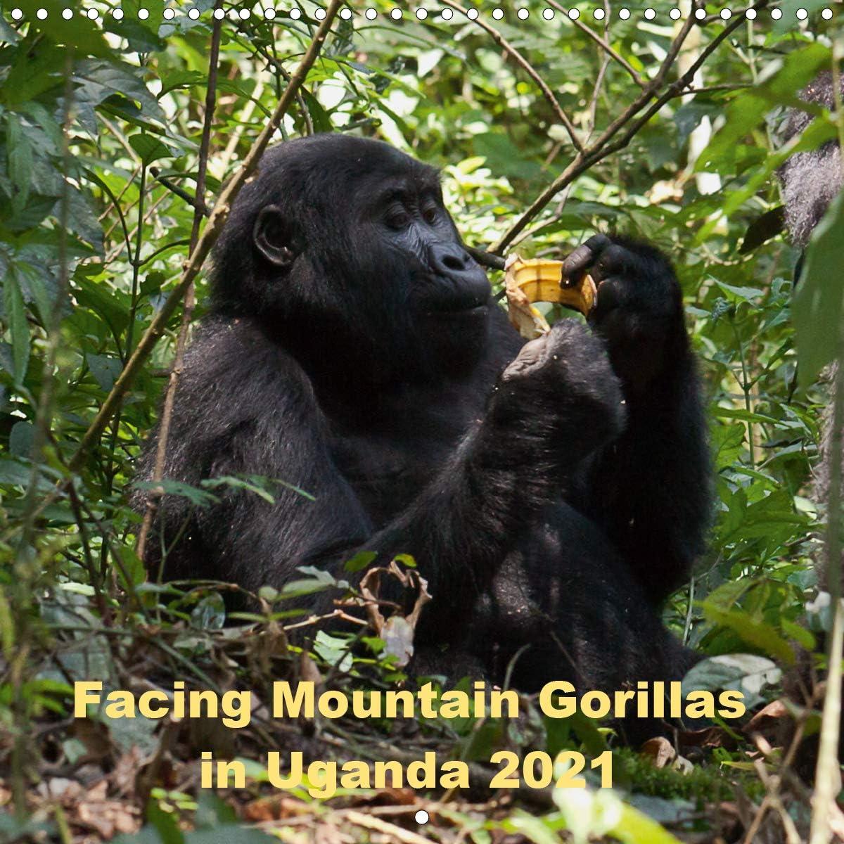 Facing Mountain Gorillas in 新品 送料無料 結婚祝い Uganda 300 Wall Calendar × 2021