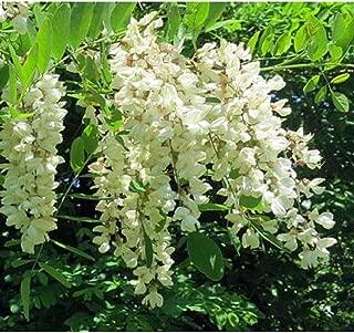 Black Locust Tree Seedling Flowering Renewable Firewood Posts Native Live Plant #BK05
