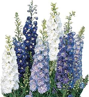 Burpee Fantasia Mixed Colors Delphinium Seeds 100 seeds