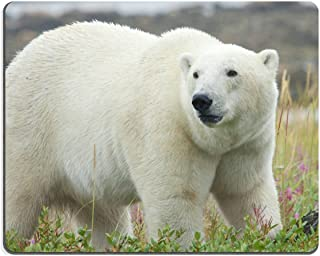 Mousepads Canadian Polar Bear walking in the colorful arctic tundra of the Hudson Bay near Churchill Manitoba IMAGE ID 23269904