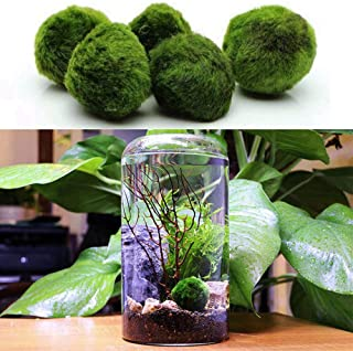 """Womdee Marimo Moss - Bright, Green, All Natural Aquatic Plants - Round 1.6"""" MarimoMossBall - Best Freshwater Aquarium Plants Decorations - Help Maintain Humidity - Supplement Hermit Crab Diets"""