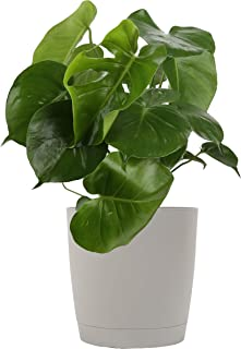 Best cut leaf philodendron Reviews