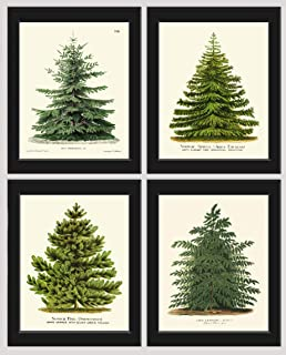 Pine Tree Christmas Trees Print Set of 4 Unframed Beautiful Botanical Nordmann Fir or Caucasian Fir Norway Spruce Scotch Pine Japanese Larch Home Room Holiday Decor Wall Art