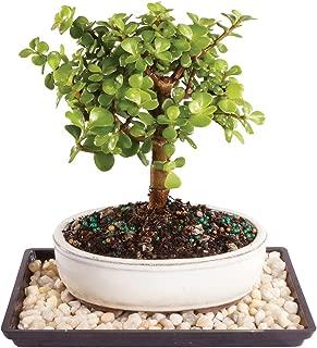 Brussel's Live Dwarf Jade Outdoor Bonsai Tree - 4 Years Old; 6