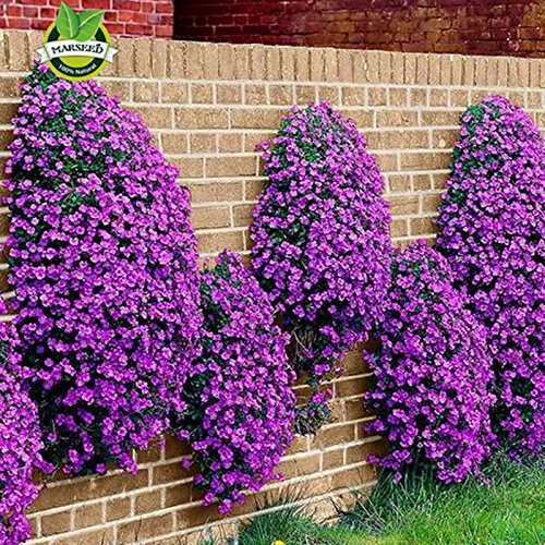 Graines de fleurs 100 Aubrieta Graines - Cascade pourpre Graines de fleurs, vivaces Superbe terrain Cover- Arabette