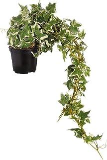 Vamsha Nature Care English Ivy Creeper Live Plants