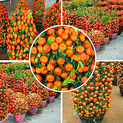 50 Pcs 2014 Real New Outdoor Plants Winter Potted Edible Fruit Seeds Bonsai China Climbing Tree Home&Garden