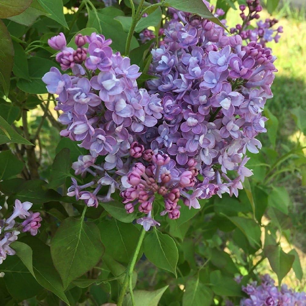 Scentara Double Blue Lilac - Winners Syringa Proven 4