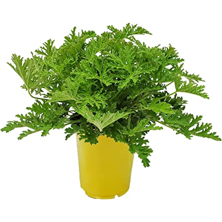 """Citronella Plant - Mosquito Plant - Pelargonium Citrosum - Live Outdoor Plants - Overall Height 12"""" to 16"""" - 1 Gallon - Tropical Plants of Florida (Plant Only)"""