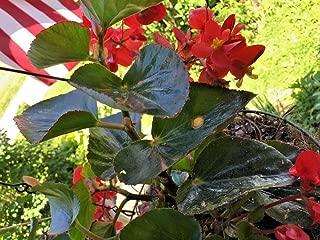 20+ Red Broad Leaf Angel Wings Begonia Seeds