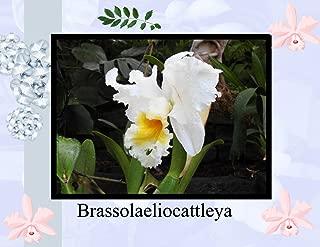 blc orchid