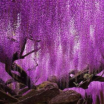 QHYDZ Garden-50/100pcs Semillas Frutales Akebia Trepadora Flor con ...