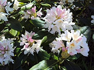 Rhododendron Cunningham's White #7 Container Size Plant - Bright White Bloom with Yellow Blotch