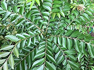 Curry Leaf Tree (Murraya Koenigii) - Starter Plant