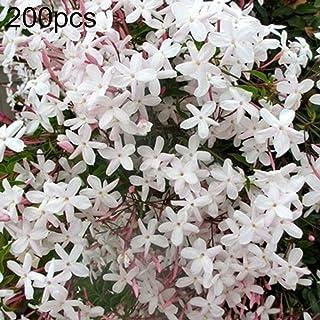 WskLinft 200Pcs Jasmine Flower Seeds Jasminum Sambac Perennial Plant Garden Balcony Decor for Planting for Indoor and Outdoor All Seeds are Heirloom, 100% Non-GMO! Jasminum Seeds