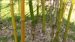 100 Seeds Golden Hawaiia Bamboo Bambusa vulgaris Yellow Cain