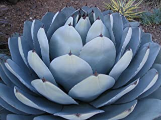 Best agave parryi for sale Reviews