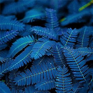 RG51TQ61b 10/20/50Pcs Blue Mimosa Pudica Seeds,Sensitive Plant Bashful Grass Bonsai Plant Home Garden 50pcs