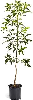 Best mexicola grande avocado tree for sale Reviews