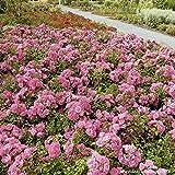 Rose Jazz® - Bodendeckerrose mehrfarbige Blüten in Orange Apricot Gelb - Kleinstrauchrose Pflanze Duftend Winterhart Halbschattig Mehltau-Resistent von Garten Schlüter - Pflanzen in Top Qualität