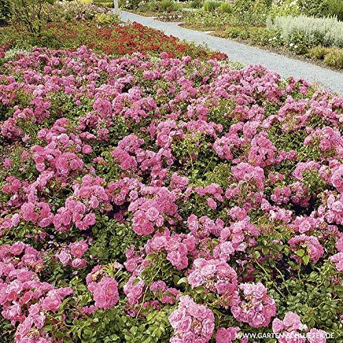 Rose Palmengarten Frankfurt- Bodendeckerrose tiefrosanen Blüten - Kleinstrauchrose Pflanze Winterhart Halbschattig von Garten Schlüter - Pflanzen in Top Qualität