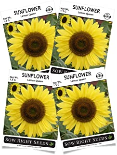 Sow Right Seeds - Lemon Queen Sunflower Seed for Planting- Full Packet with Instructions, Beautiful Non-GMO Heirloom Flower to Plant, Wonderful Gardening Gift (4 Packets)