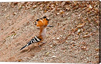 Madagascar. Madagascar Hoopoe, Endemic Bird by Charles Sleicher/Danita Delimont Canvas Art Wall Picture, Gallery Wrap, 36 x 23 inches