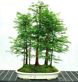 ASTONISH SEEDS: 50 + 50 semillas de color rojo Bosque Bonsai Semillas Bonsái Metasequoia glyptostroboides crecer su propio...