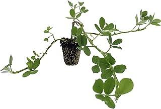 Ornamental Peanut Grass - Arachis Glabrata - 10 Live Plants - 2