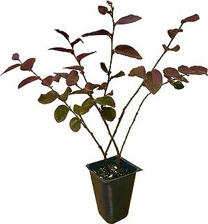 Loropetalum 'Plum Delight' - Chinese Fringe Flower - 20 Live Plants - Evergreen Flowering Shrub