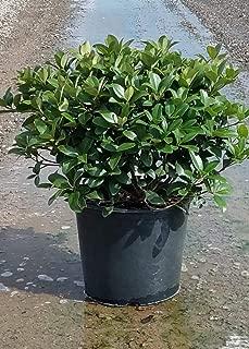 3 Gallon - Snow White Indian Hawthorne - White Blooming Evergreen Shrub Rhaphiolepis