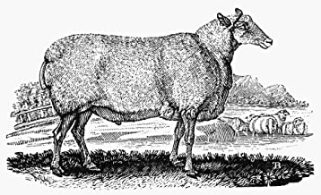 Posterazzi Poster Print Collection Sheep Nthe Wedder of Mr. Culley'S Breed. Wood Engraving C1800 by Thomas Bewick, (24 x 36), Multicolored