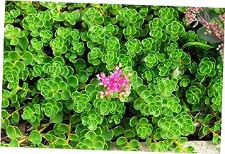 ABELYN Plant Sedum John Creech Perennial Plants - Ground Cover - EB294