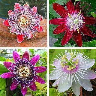 lamta1k 100 Unids Semillas de Flor de Pasión Alta tasa de
