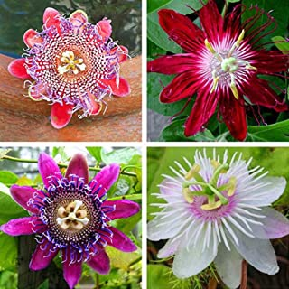 AzsfUfsa53 Package of 100Pcs Non-GMO Multicolor Passion Seeds, Ornamental Flower Plant Seeds for Garden, Home, Office Decor & Air Purification Passion Flower Seeds