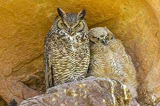 USA, Colorado, Red Rocks State Park. Great horned owl and owlet at nest in rocks. Poster Print by Jaynes Gallery (24 x 36)