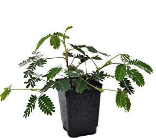 Mimosa pudica, Fairy Sensitive Plant