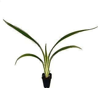 variegated dianella grass