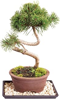 Brussel's Live Dwarf Mugo Pine Outdoor Bonsai Tree - 6 Years Old; 6