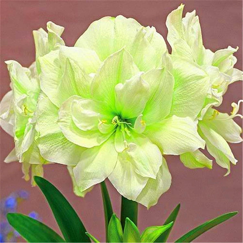 Easy to Plant Marvel Topics on TV Translated at Exotic Amaryllis Enchanting Bulb Flowers
