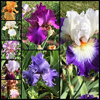 15 Bulbs Bearded Iris Flower - Mixed Colors Reblooming Beared Iris Perennial Iris Flowers by Dr.Shinoda