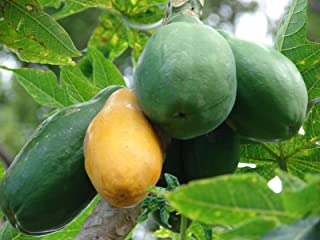 AGROBITS Papaye Tree RAPIDE SWE