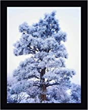 CA, Sierra Nevada Frost-Covered Jeffrey Pine by Dennis Flaherty 16