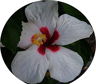 Hawaiian DOT Tropical Hibiscus Live Plant Single Pinwheel Flower White Red Throat Melba White Wings Starter Size Emerald TM