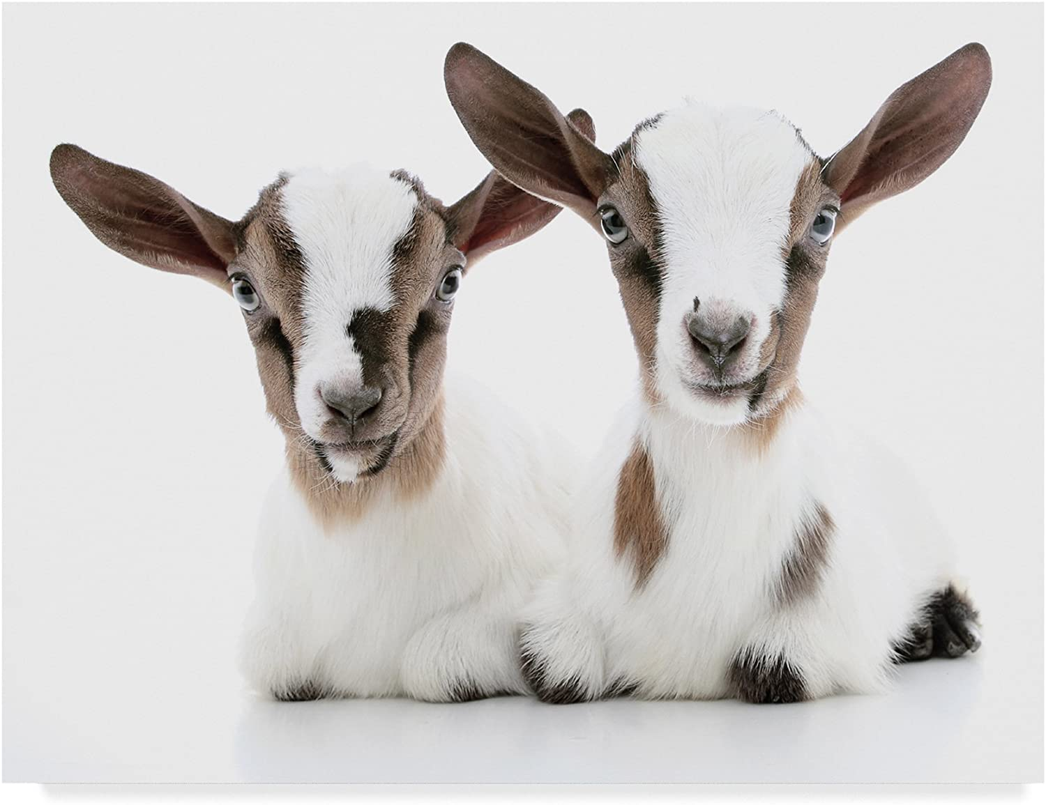 Baby Goats by Andrea Mascitti Puppies, 14x19Inch