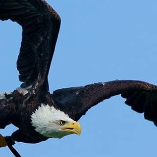 Bald Eagle Wallpaper --  HD Wallpapers of Bald Eagles!