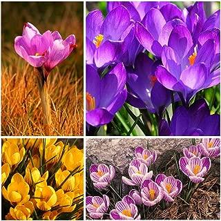 4pcs Saffron Crocus Bulbs-Fall Blooming, Grow Your Own Saffron Spice!