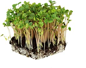 Buckwheat Seeds - 5 Lb - Organic, Non-GMO, Whole (Shell On) - Grow Buck Wheat Cover Crops, Microgreens, Lettuce
